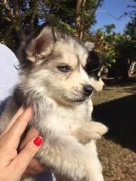 Vendo filhote de husky siberiano em até 12 x no cartão