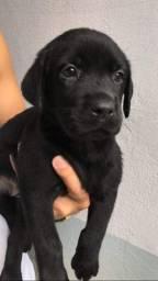 Labrador chocolate/amarelo/preto, machos e femeas