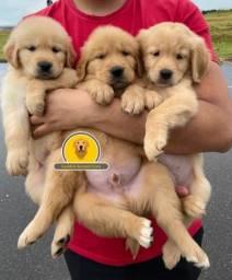 Golden Retriever filhotes com pedigree (valores abaixo)