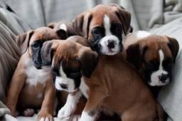 Boxer machinhos e fêmeas com garantias de vida e saúde, parcelamento em até 12x