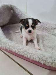 Chihuahua macho e fêmea Pêlo curto. Vacinado e com pedigree