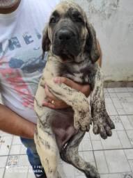 Fila Brasileiro, guardião nacional