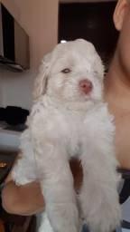 Poodle toy Branco