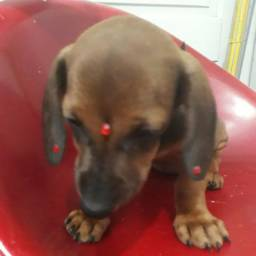 Uma fêmea de basset dachshund cofap disponivel