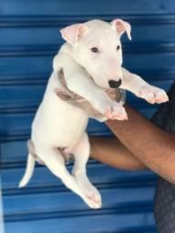 Lindos filhotes de Bull Terrier - Pedigree - Loja Física em SP