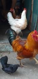 Vendo patos, gansos e galinhas