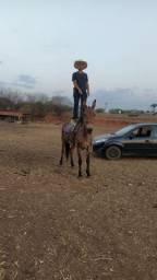 Vendo ou troco mula de patrão