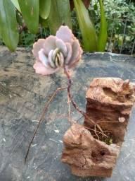 Suculentas no tronco de madeira cajarana