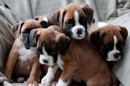 Boxer machos e fêmeas a pronta entrega com garantias e parcelamento em até 12x