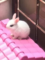 Vende se coelho mini