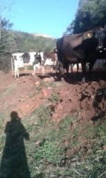 Vende-se vacas de leite