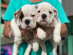 Bulldog ingles com pedigree e microchip em até 18x