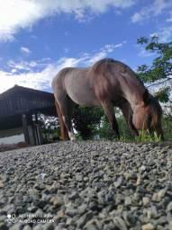 Vendo égua crioula documentada