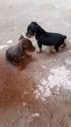 Cachorro raça pinscher