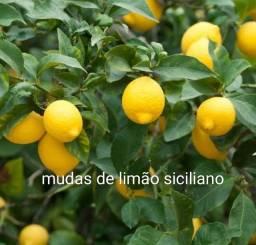 Mudas de limão siciliano