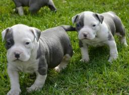 American Staffordshire Terrier Blue - Filhotes com Pedigree