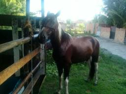 Cavalo Pampa de picado