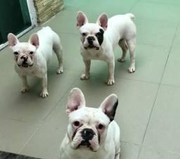 Bulldogs francês 2 machos 1 fêmea