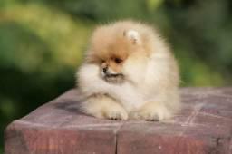 Lulu da pomerania, canil ps
