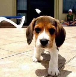 Beagle Machinho ah Pronta Entrega