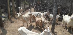 Cabras Saneen e Mestiças (enxertadas e amojando) e Bode Reprodutor