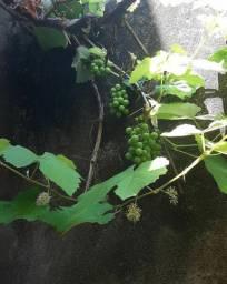 Rio Branco Mudas de uva
