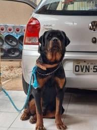 Rottweiler macho disponível para acasalamento