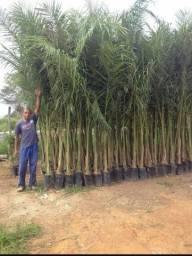 Kit com 10 mudas de palmeira imperia R$ 550,00