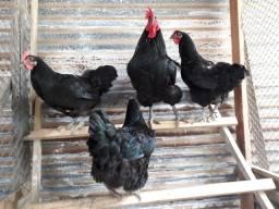 Aves Brahma, gigante negro e  galos caipiras