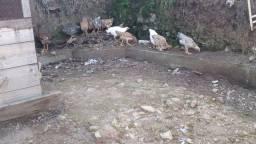Galinha Caipira e galinha peito duplo