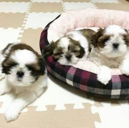 Temos lindos filhotes de Shih tzu, prontos para ir pra casa!