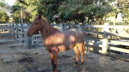egua mansa