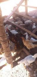 Vendo galinha caipira ( Obs: Não entrego)