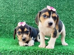beagle lindso filhotes com garantia e procedenai