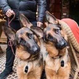 Focando Na Revenda Segura Em Cães De Raça, Canil Hadassa?S Camara. Whats *