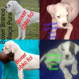 Título do anúncio: Boxer Branco consulte no Kennel club de tua cidade