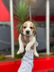 Filhotinhos de Beagle em 12x Sem Juros!!!