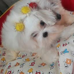 Maltês micro com pedigree R$ 1300