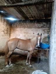Cavalo campulino com mangalarga