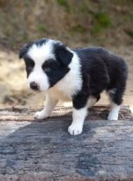 Border collie preto e branco
