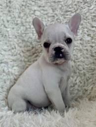 Bulldog francês maravilhosos de cores variadas