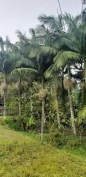 Coqueiros Jerivá até 3,5 metros ideal para paisagismo / jardim