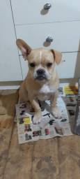 Bulldog francês macho fulvo