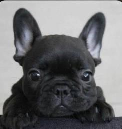 Bulldog Frances tigrado, super lindo!