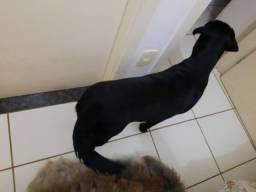 Cão raça labrador preto