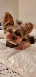 Yorkshire Terrier machos com garantia pós venda