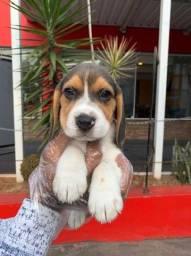 Beagle Vacinados e Vermifugados!