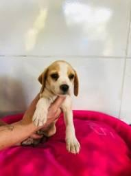 beagle- filhotes com garantias!!!!!