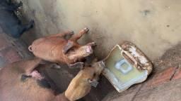 Vendo porcos filhotes