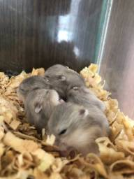 Filhotes de hamster anão russo argente